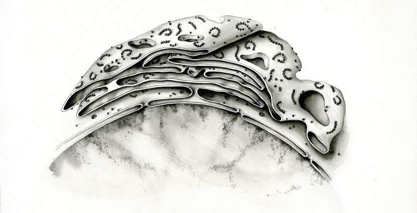 Joel Ito. Forms of the rough endoplasmic reticulum, n.d.