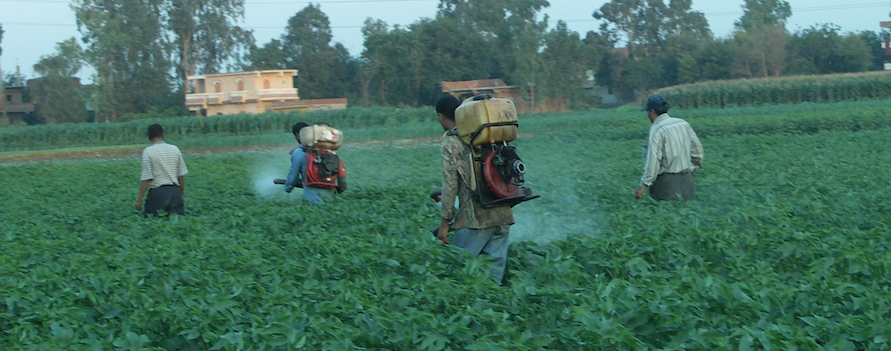 Egyptian Pesticide Workers