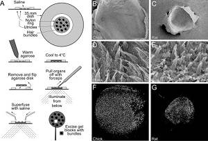 Isolation of utricle hair bundles from Peter Barr-Gillespie's analysis of the proteome of hair-cell stereocilia. Ferracane's new model draws on Barr-Gillespie's technique.
