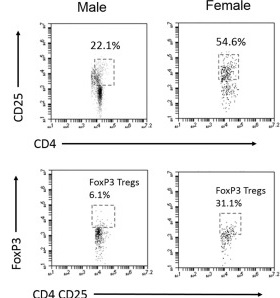 Regulatory T cells are increased in the spleens of female mice.