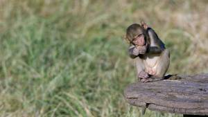 A macaque at the Oregon National Primate Research Center at OHSU.
