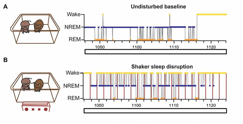 Sleep measures during shaker or baseline conditions in juvenile prairie voles.
