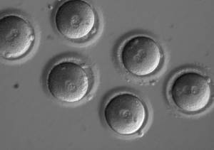 This image shows individual blastomeres within the early embryos two days after co-injection