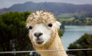 Alpaca antibodies in SARS-CoV-2 research